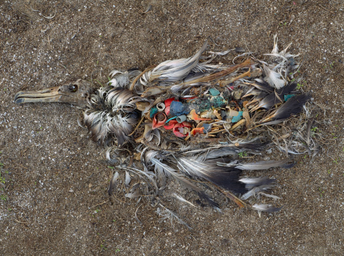 Midway albatros killed by plastic pollution