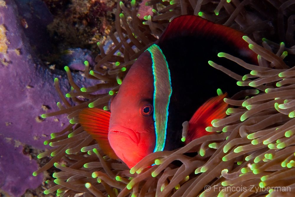 Red anemon fish
