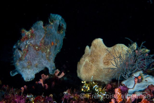 Double frogfishes