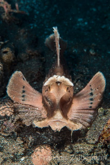 Eschmeyer scorpion fish
