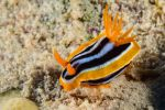 Nudibranche Chromodoris