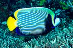 Imperator angelfish
