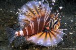 Zebra lion fish