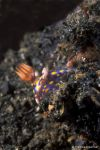 Nudibranch Hypselodoris kanga