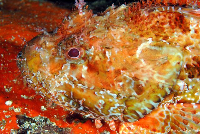 Big Scorpion fish