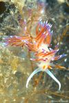 Nudibranch Flabellina Hervia