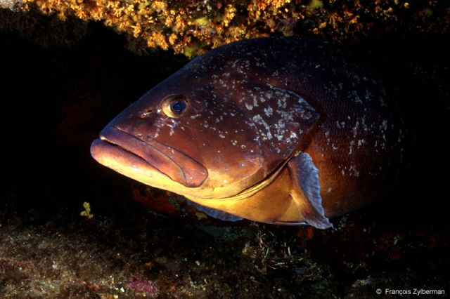 Brown mediterranean grouper