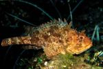 Brown scorpion fish