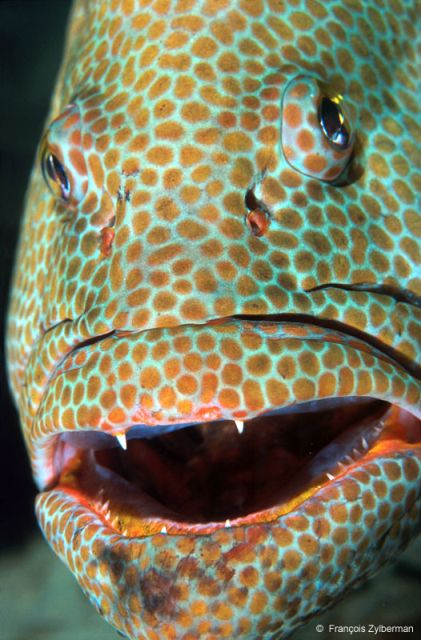 Tropical grouper