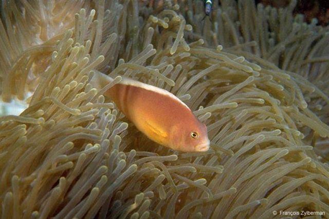 Anemon fish