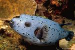 Black-spotted pufferfish