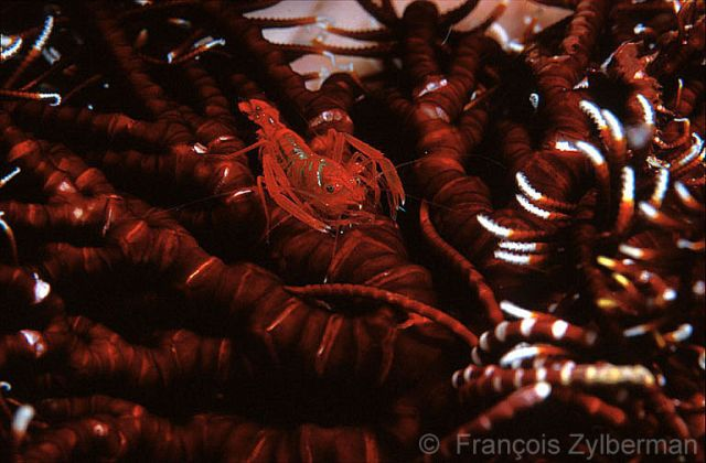 Shrimp in a feather-star
