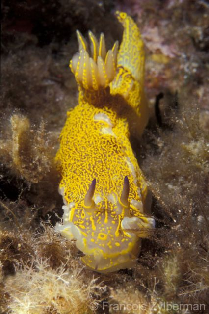 Nudibranch Hypselodoris picta