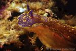 Nudibranche Hypselodoris picta