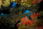 Glass fishes and red corals
