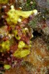 Warty Clown Frogfish