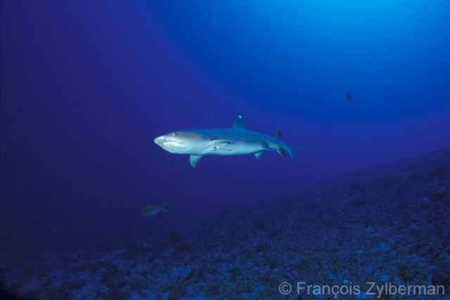 White tips Shark