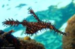 Harlequin ghost pipefish