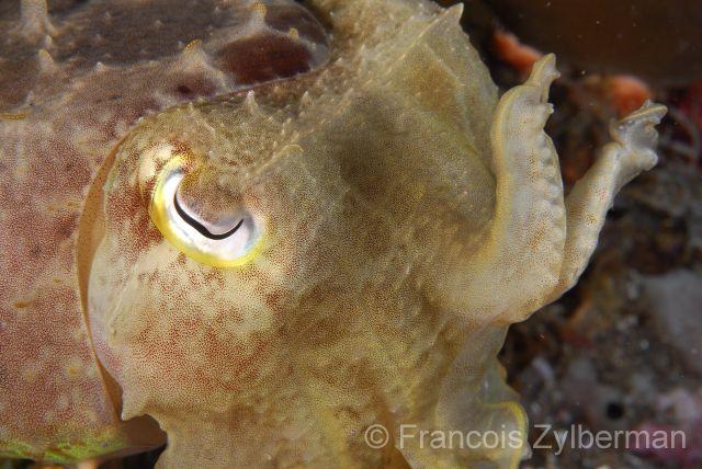 Baby cuttlefish