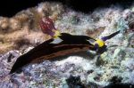 Nudibranch Nembrotha