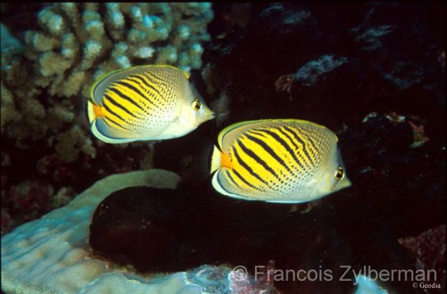Sunset butterflyfishes